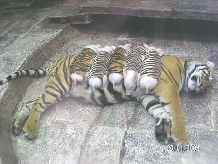 tigerpigs