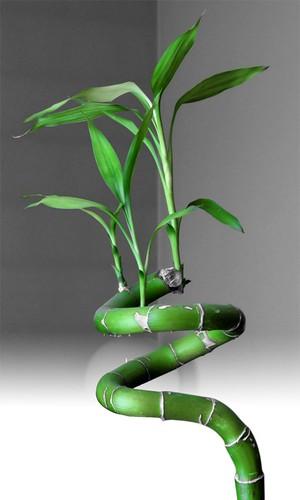 O Bamboo utilizado no Feng Shui