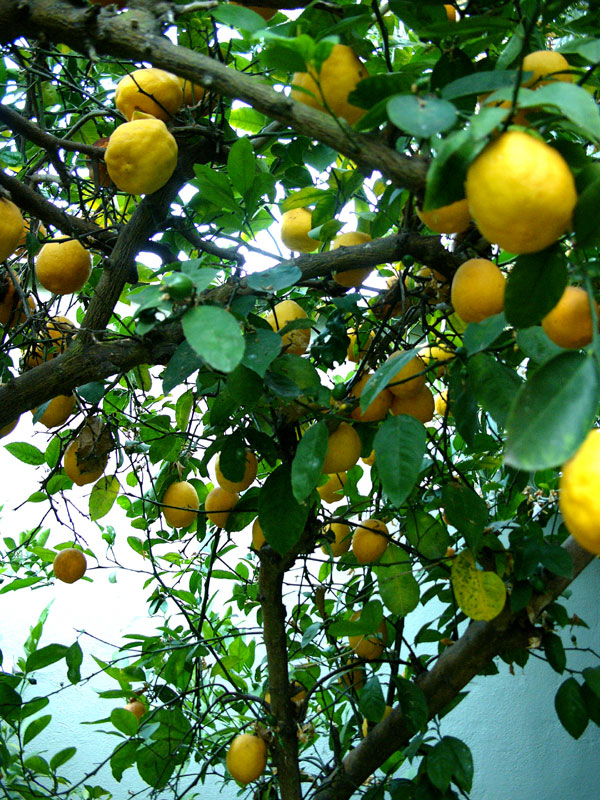 meyer lemons 1