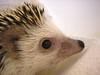 7/5/06: Hedgehog closeup 2