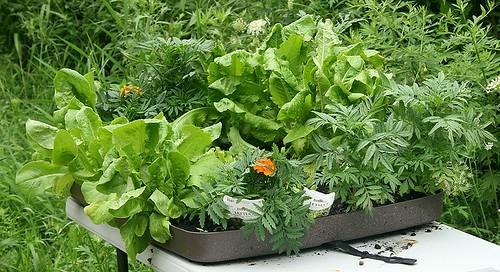 successional lettuce - 1