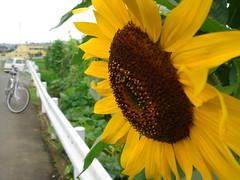 ひまわり / Sunflower