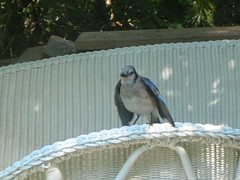 juvie bluejay