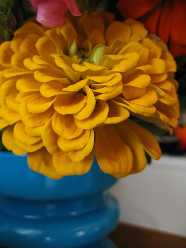 yellow zinnia 2