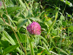 Even the lowly red clover is beautiful on a sunny morning