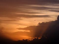 Grand Sunset - Bird in flight
