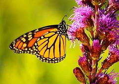Liatris-butterfly1.0