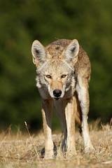 Predatory photo by Jared Hughey