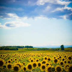 sunflowers photo by Kirstin Mckee