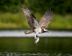 "Osprey EJ fishing ""caught it"" photo by Margaret J Walker"