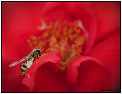 The hoverfly and the red rose photo by Dream_Searcher