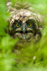 Short-eared Owl (Asio flammeus) photo by Gudmann