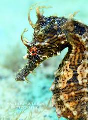 Lined Seahorse- Hippocampus erectus photo by MattSullivan