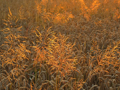 Golden Grass in the Wheat Field photo by Batikart