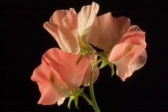 Sweet Pea photo by LabradorEars