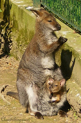 Little Wallaby Baby in her Mother's Pouch photo by Cloudwhisperer67