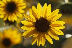 Sunflowers photo by mclcbooks