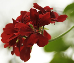 Flower Thursday for Edilia! photo by mara zocolotte