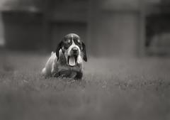 Stella - bluetick coonhound photo by Zach Boumeester