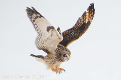 short-eared owl ready to pounce (Explored) photo by Steve Courson