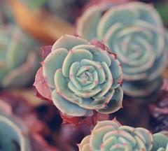 Succulent~even the word sounds cool. (Happy B.W.) photo by iglesias2u (Saroya)