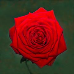 Close-up van een rode roos - Closeup of a red rose photo by RuudMorijn