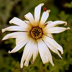 Ladybird Beetle on African Daisy photo by Tōn