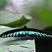 Brookiana Trogonoptera