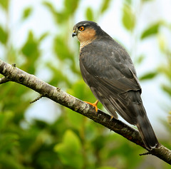 Male Sparrowhawk. photo by richie0172