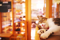 I'm only sleeping (at a cat cafe, Nara) photo by Marser