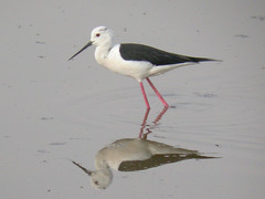 Black-winged Stilt, Castro Marim (Portugal), 27-Apr-06