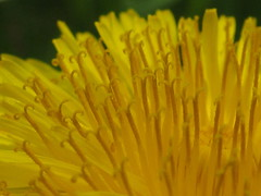 Dandelion extreme close-up
