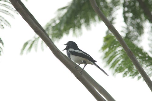 Magpie Robin Calling