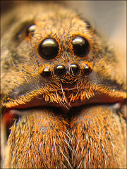 Wolf spider, up and close photo by Techuser