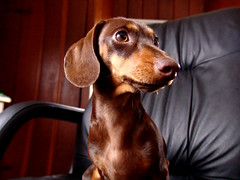 Its Weiner Dog photo by See El Photo