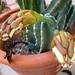 Cereus (3216)