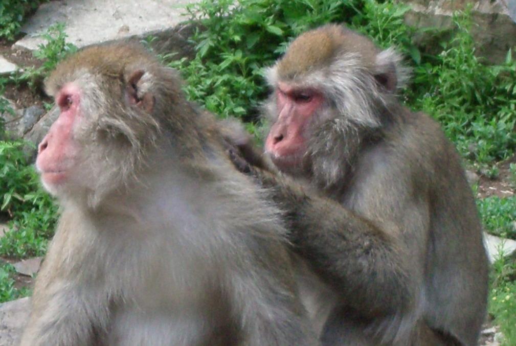 monkey brading