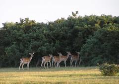Deer at Ocknell