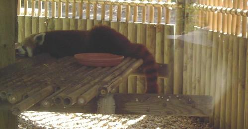 Un panda roux faisant la tronche