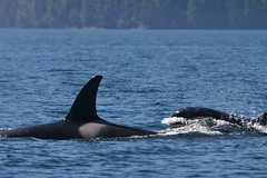 resident orca w/ calf