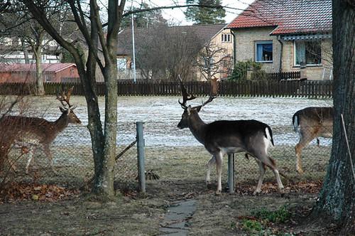 Hjortar på Rodergatan