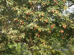 Rambutan Tree (5)