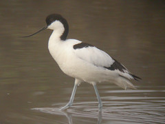Avocet, Castro Marim (Portugal), 27-Apr-06