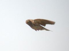 Lesser Short-toed Lark, Castro Marim (Portugal), 30-Apr-06