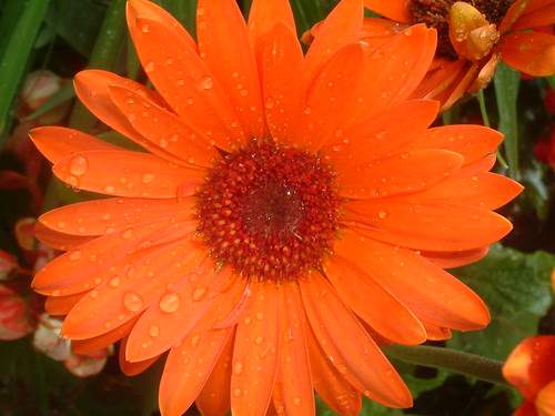 Orange Gerber Daisy after watering.