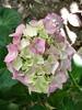 20060606 Hydrangia Blossom