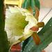 Cereus (3215)