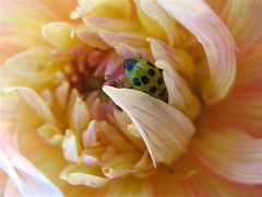 Cucumber Beetle in Dahlia