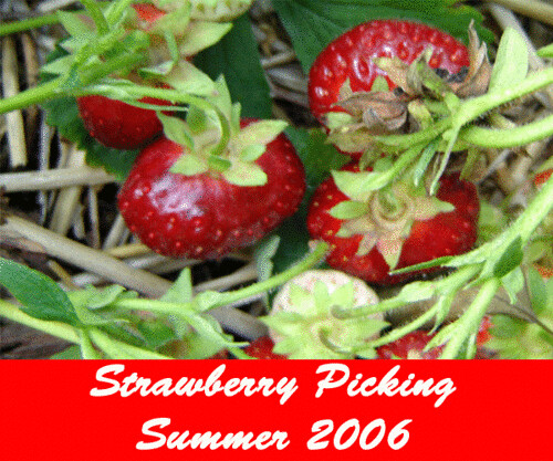 Strawberry Picking 2006