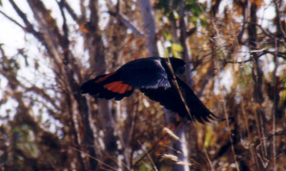 red-tail black